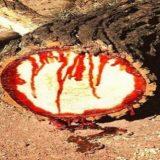 copacul care sangereaza