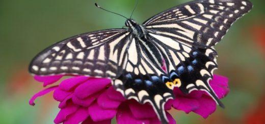 fluture-pe-floare_27122598-696x466
