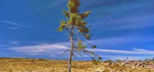 cel mai batran copac